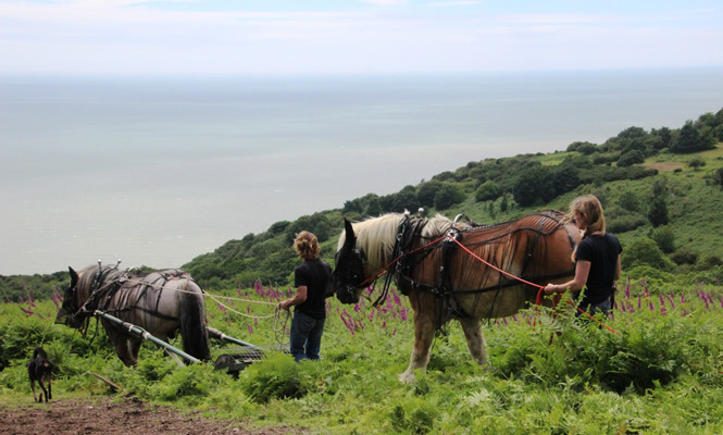 Heavy Horses bruising bracken at Hastings Country Park (2)